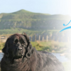Newflands Newfoundlands